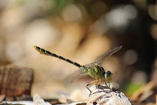 Connie Zarn - Smiley Dragonfly
