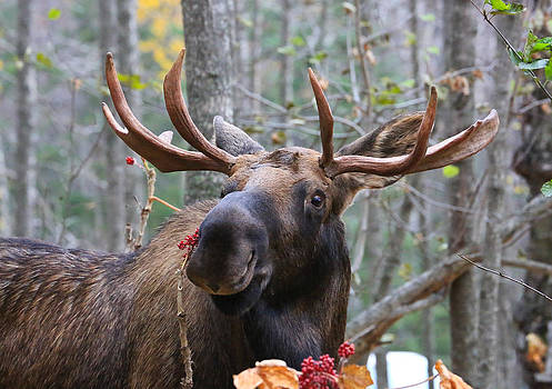 Smiling Alaska Bull Moose by Sam Amato