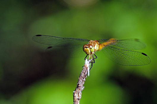 Smiling dragonfly by Cheryl Cencich