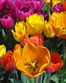 Anne Ferguson - Smiling Tulips