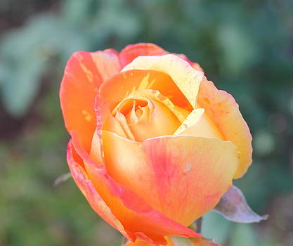Smithsonian Roses  4 by Glenn Lawrence