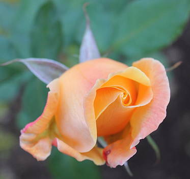 Smithsonian Roses 7 by Glenn Lawrence