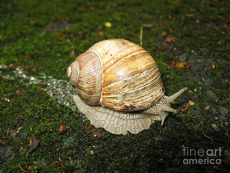 Snail crossing the path 01 by Ausra Huntington nee Paulauskaite