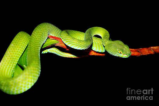 Snake Green Pit Viper by Pongsak Deethongngam