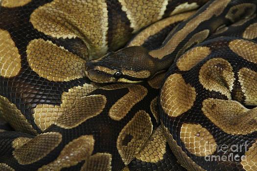 Snake by Lori Bristow