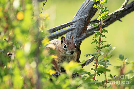 Sneaky Chipmunk by Val Armstrong