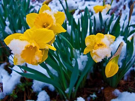 Snow Covered Daffodil Flower by ilendra Vyas