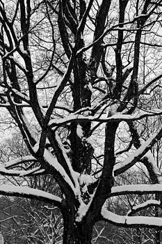 Snow Covered Tree by Ryan Louis Maccione