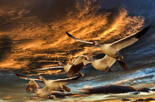 Snow Geese sunset by Kenneth Eis