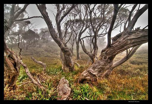 Snow Gums in the Fog by Michael Thoms