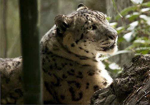 Snow Leopard 2 by Alissa Dasta Coletta