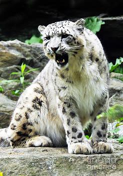 Anne Ferguson - Snow Leopard 2