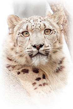 Snow Leopard 7361  by Ken Brodeur