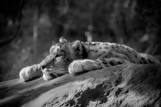 Snow Leopard Cub by Robert Mirabelle