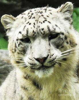 Anne Ferguson - Snow Leopard Portrait