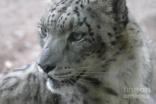 Snow Leopard Profile by Chris Hill