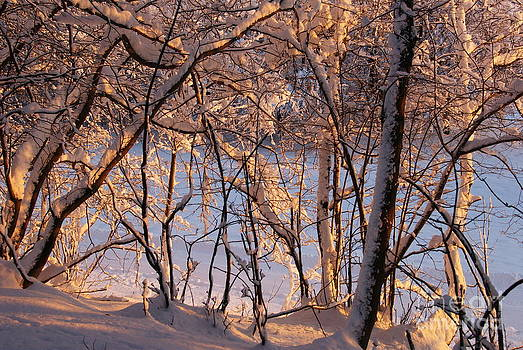 Snow on branches by Tomaz Kunst