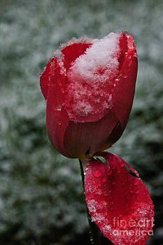 Snow Tulip by Diane Stresing