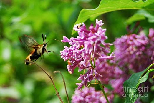 Snowberry Clearwing Hummingbird Moth by Crissy Sherman