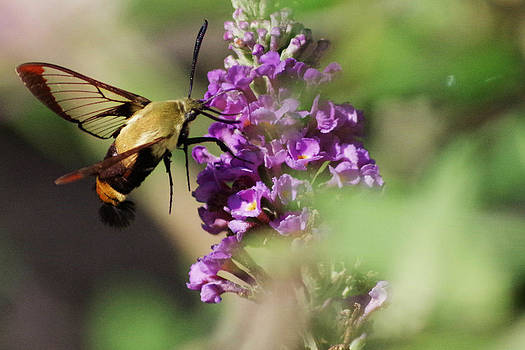 Snowberry Clearwing Moth by Rebecca  Barray