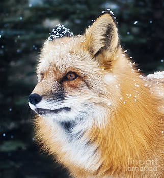 Snowflake Fox by Beth Riser