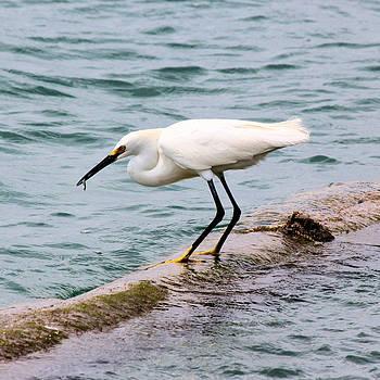 Suzie Banks - Snowy Egret Catching Fish