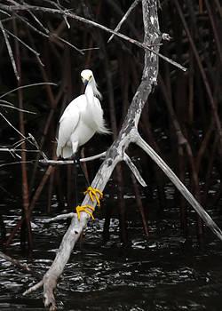 Jonathan Whichard - Snowy Egret - Egretta thula