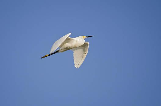 Christine Kapler - Snowy Egret in fly