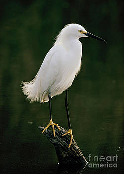 Snowy Egret portrait by Doug Herr