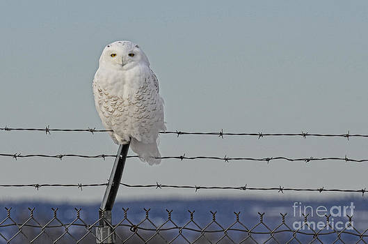 Snowy Owl 1 by Whispering Feather Gallery
