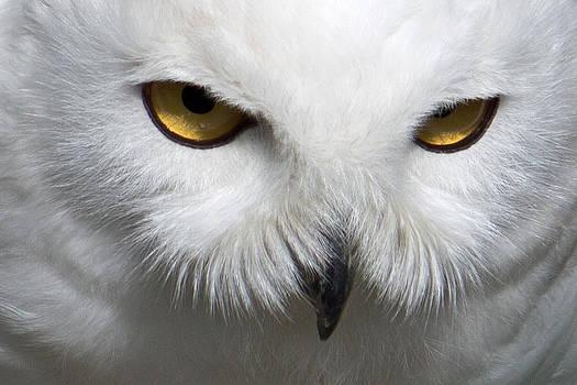 David Pringle - Snowy Owl