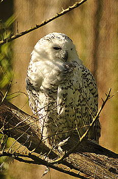 Martina Fagan - Snowy Owl