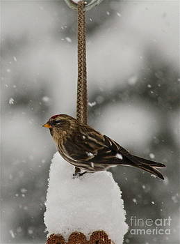 Rick  Monyahan - SNOWY PERCH