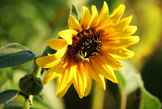 Soaking Sunflower by Sheryl Cox