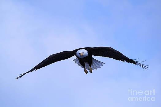 Soaring Bald Eagle by Dean Gribble