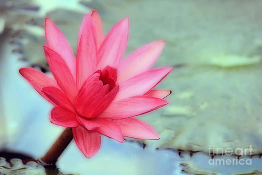 Soft lotus by Chaitawat Pawapoowadon