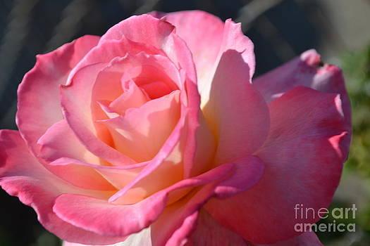Soft Rose by Saifon Anaya