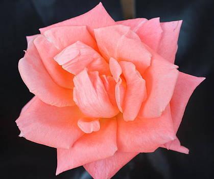 Sonia Rose 2 by M Diane Bonaparte