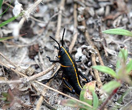 Southeastern Lubber Nymph by April Wietrecki Green