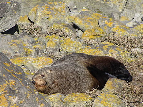 Southern Fur Seal by Stephanie Olsavsky