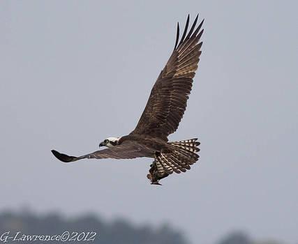 Southern Maryland Osprey  by Glenn Lawrence