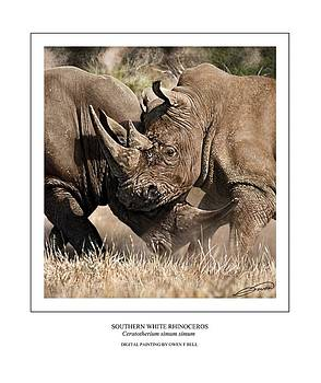 Southern White Rhinos Jousting by Owen Bell