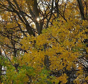 Sparkling Sunlight Through Aspens  by D Nigon