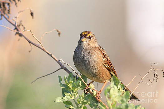 Wingsdomain Art and Photography - Sparrow Bird Perched . 40D12304