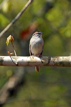 Sparrow by Curtis Brackett