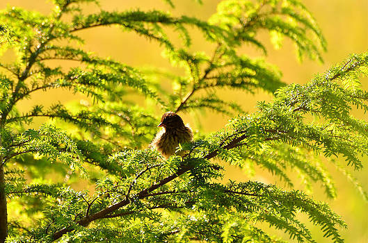 Sparrow Gold by Light Shaft Images