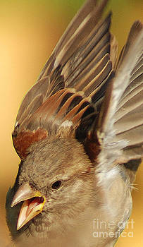 Sparrow in flight by Jim Wright