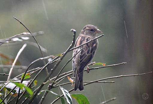 Sparrow in the rain by Healing Woman