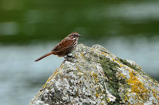 Sparrow on the Rocks by Light Shaft Images