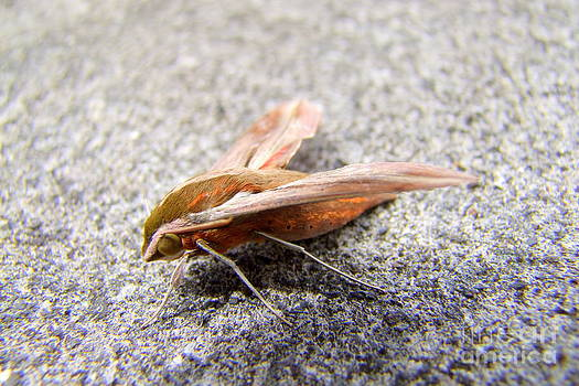 Mary Deal - Sphinx Moth